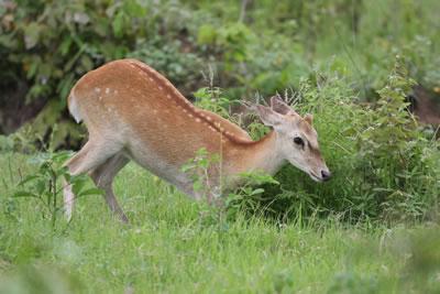 热带雨林手绘鹿素材